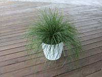 Evergreen Baby™ Lomandra labill. 'LM600' PBR