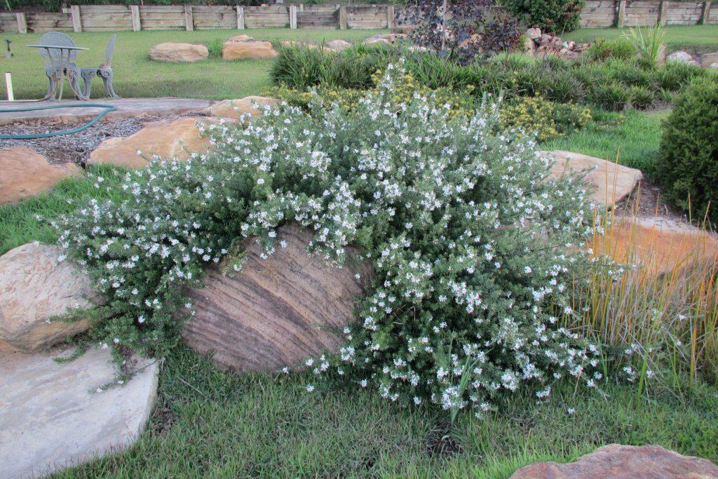 Unpruned Mundi™ Westringia cascading over rocks