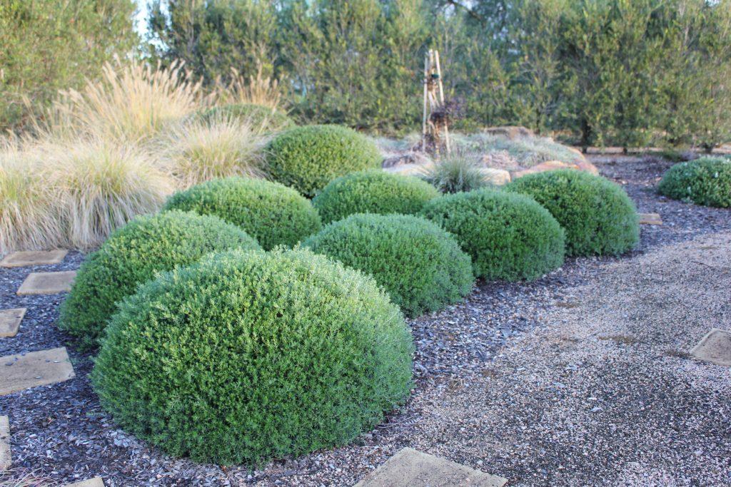 Pruned Mundi™ Westringia into a ball shape