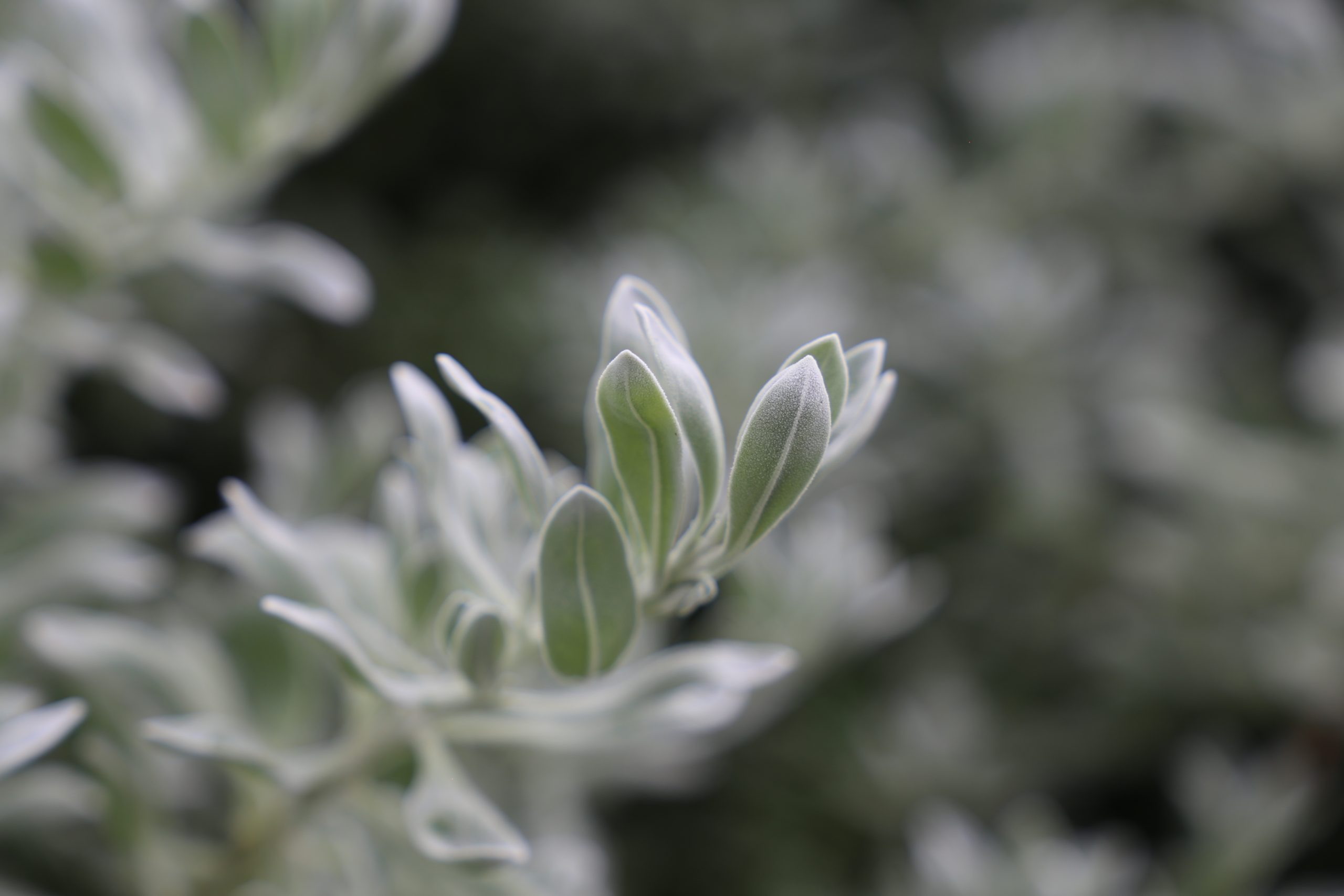 Blue Horizon Eremophila Close Up Of Rough Leaves For Capturing Pollution