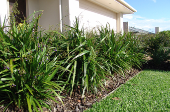 Breeze® Dianella is 297% stronger than bare soil