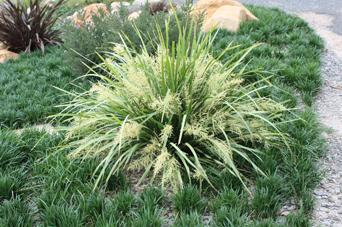 Katie Belles™ Lomandra is 285% stronger than bare soil