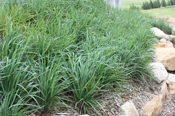 King Alfred® Dianella is 752% stronger than bare soil