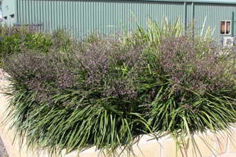 Lucia™ Dianella is 433.75% stronger than bare soil