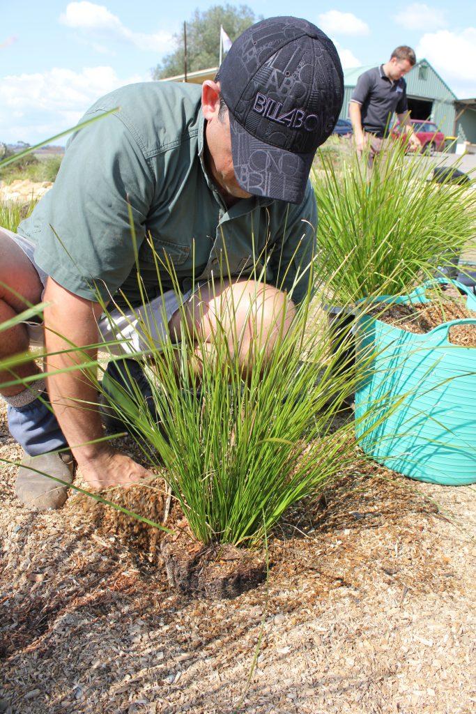 testing Lomandra by planting into playground mulch