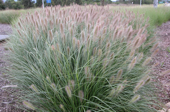 Nafray® Dianella is 475% stronger than bare soil