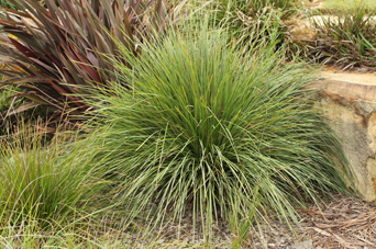 Nyalla® Lomandra is 328% stronger than bare soil