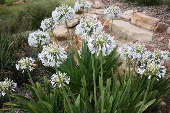 The Agapanthus in the trial were 283% stronger than bare soil. This is Queen Mum.