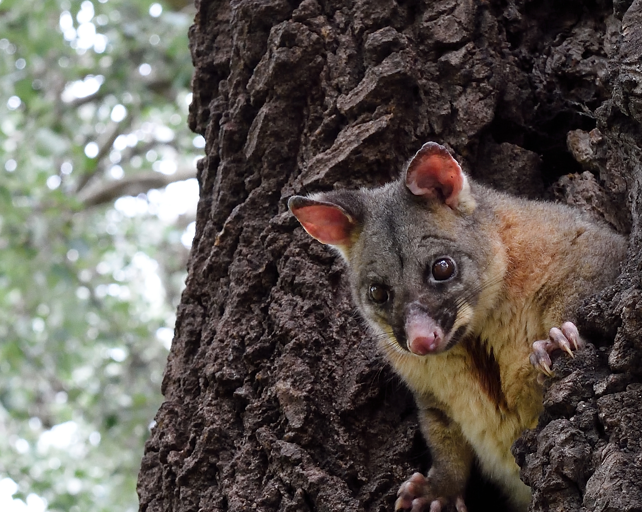 Tree hollows are important habitat for possums. You can put up a possum house to attract more visitors
