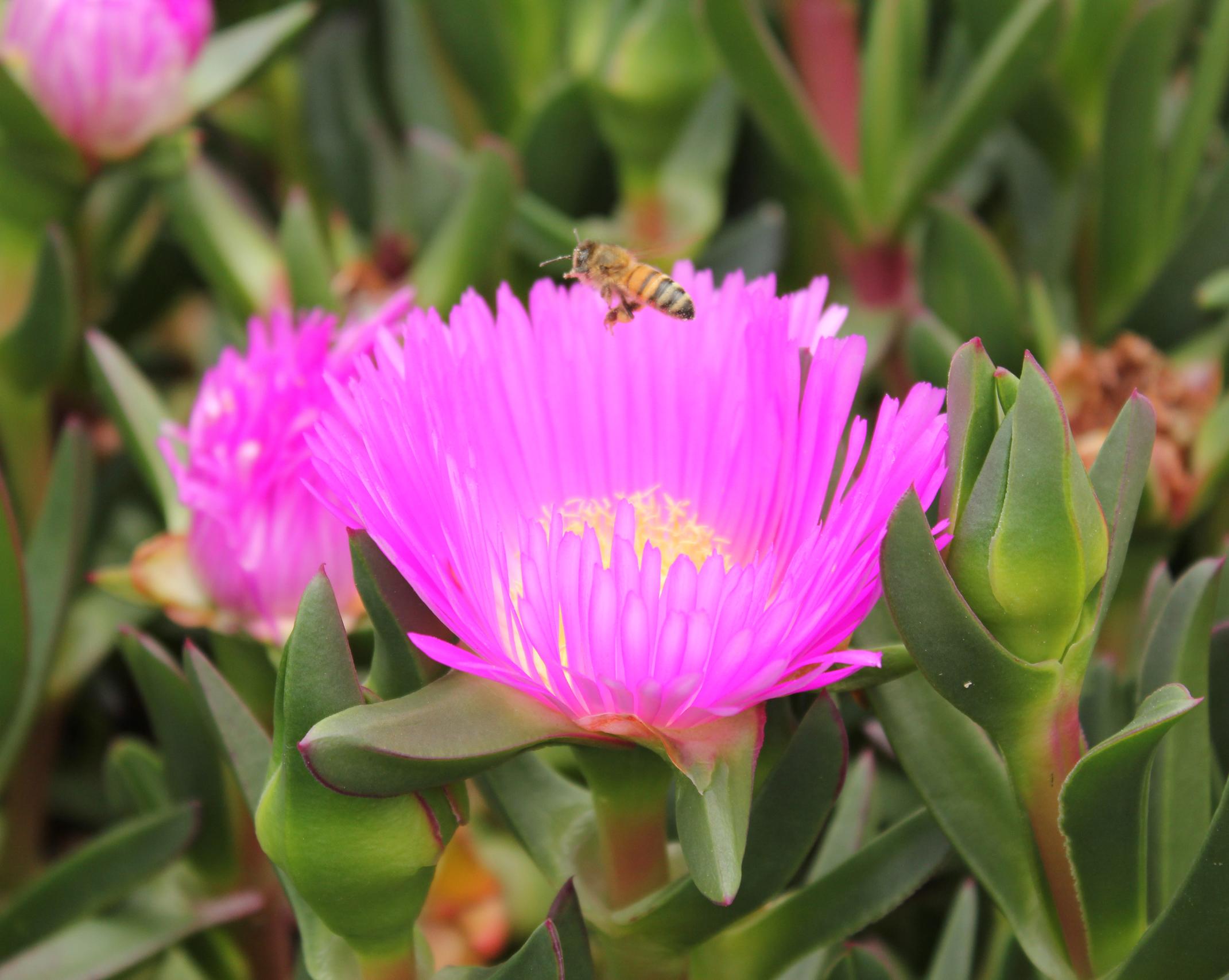 Aussie Rambler™ Carpobrotus is very attractive to bees