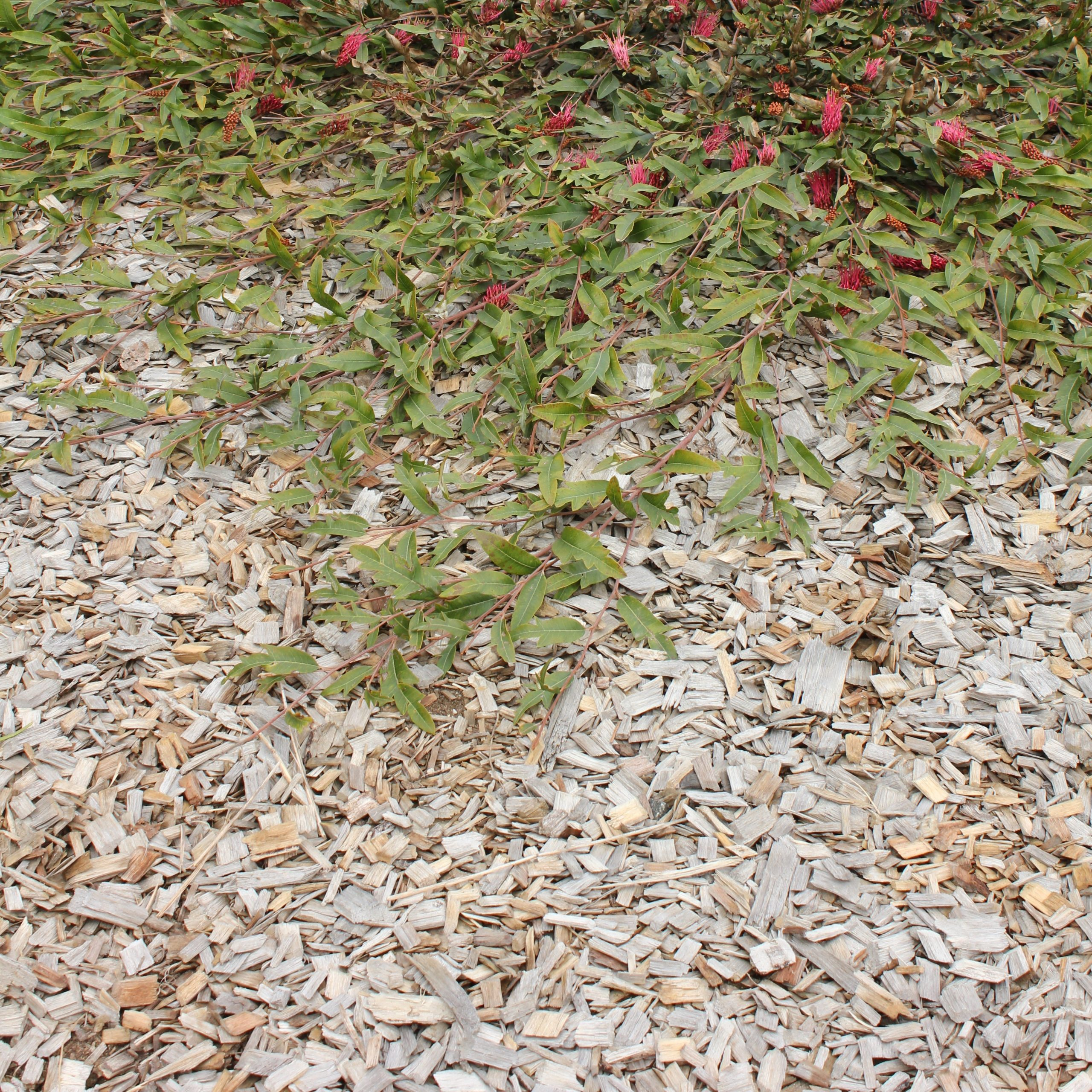 Royal Rambler™ Grevillea growing over a thick layer of chunky mulch