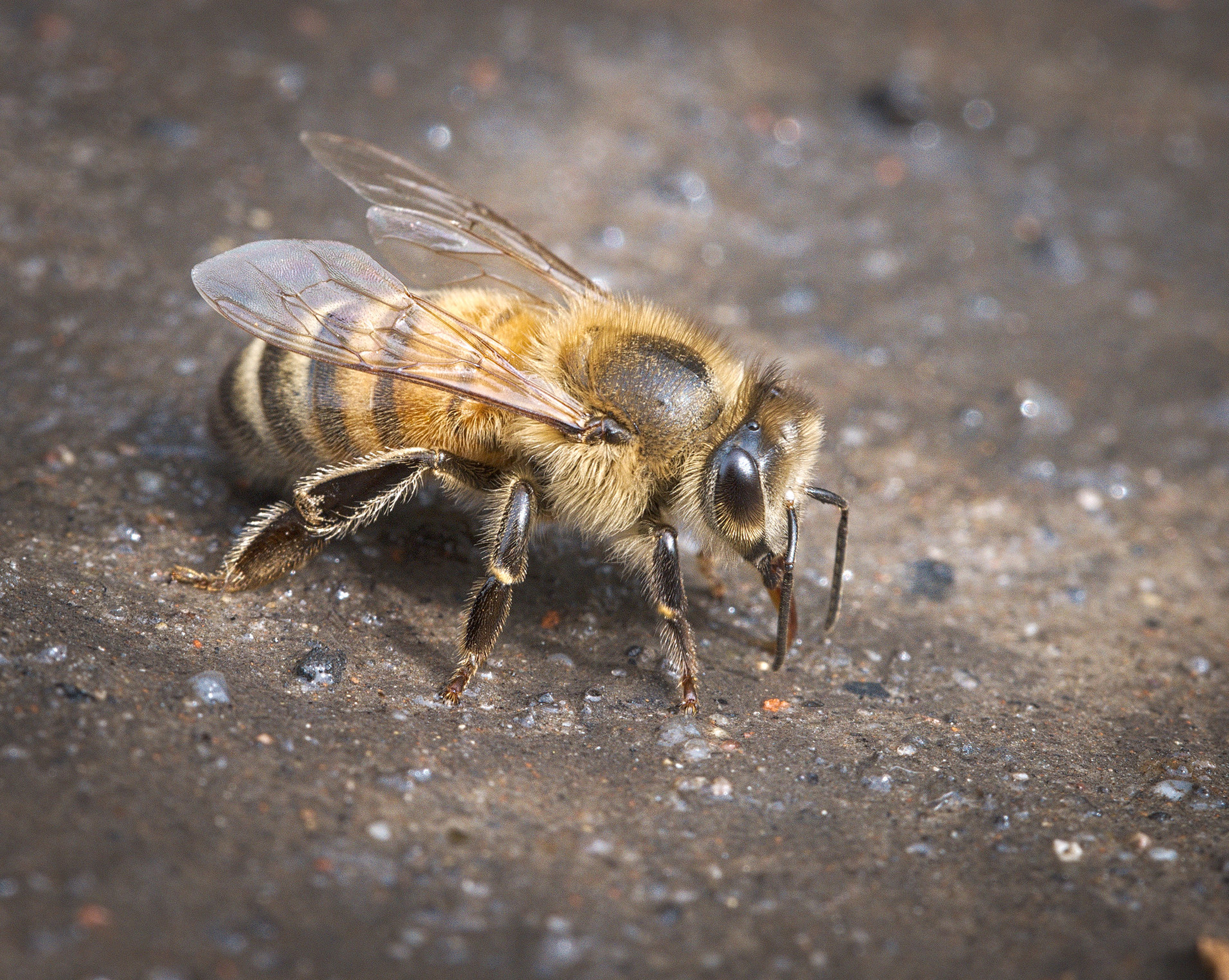 Shallow water dishes with sand or pebbles attract thirsty bees