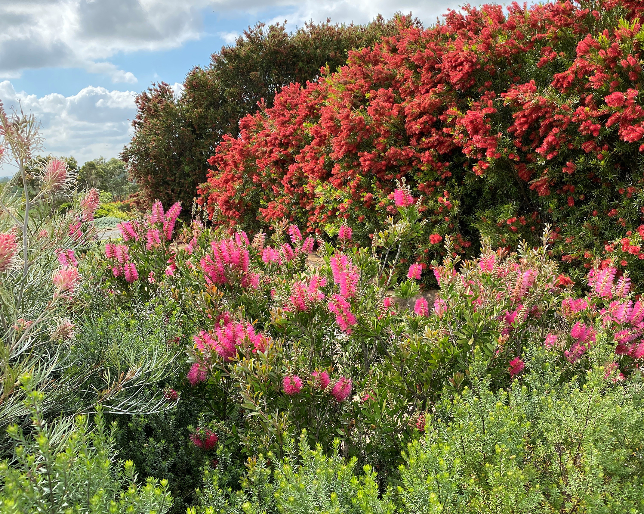 Dense shrubs like Westringias and Callistemons attract wildlife