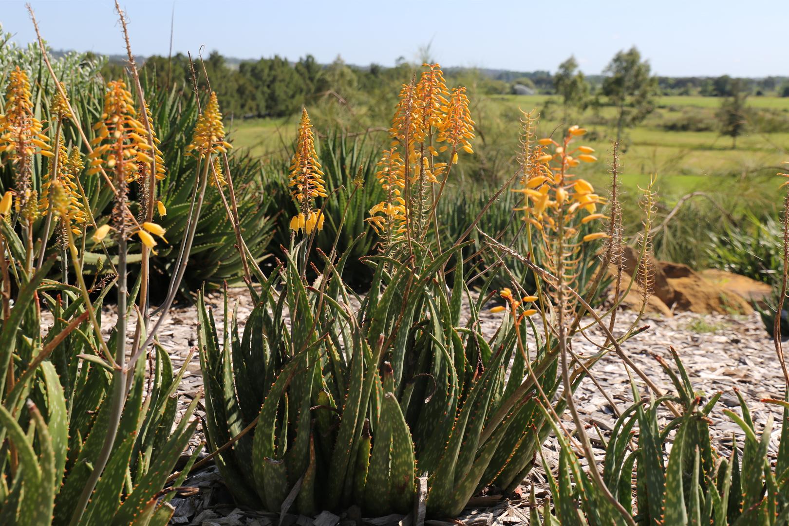 Mighty Gold™ Aloe Hybrid 'AL02' PBR Intended
