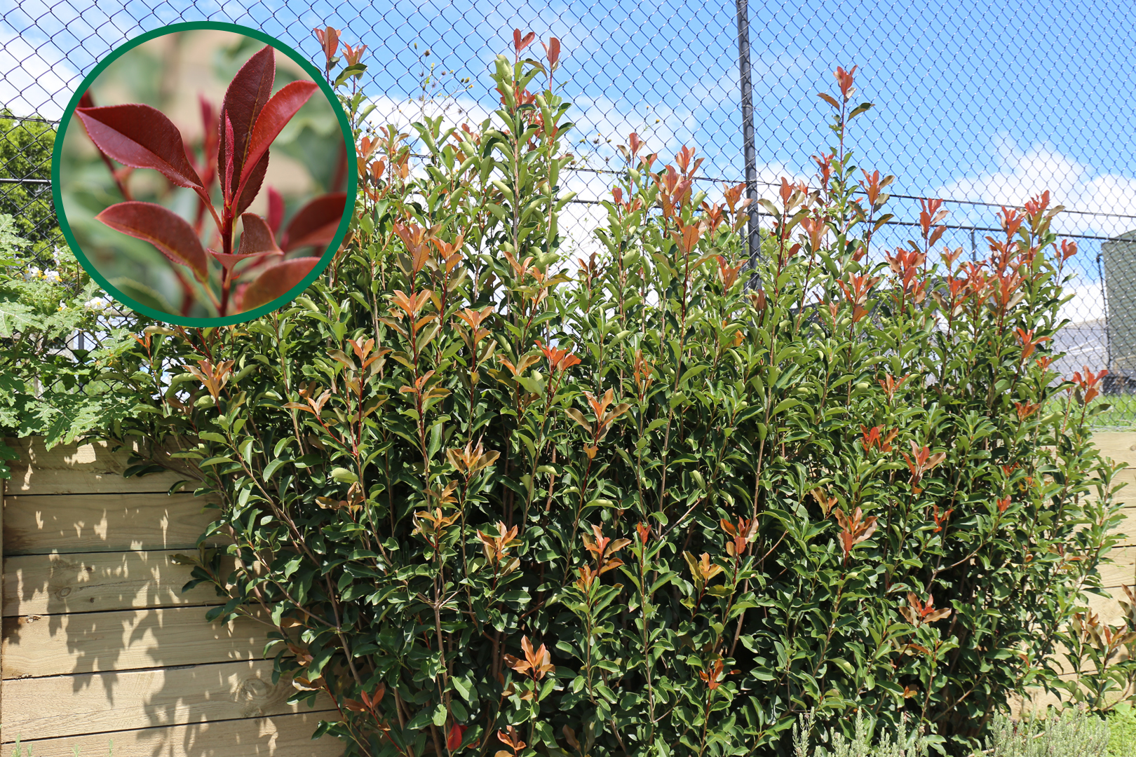 Thin Red™ Photinia x fraseri 'NP01' PBR Intended
